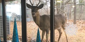 Buck Deer looking through office window