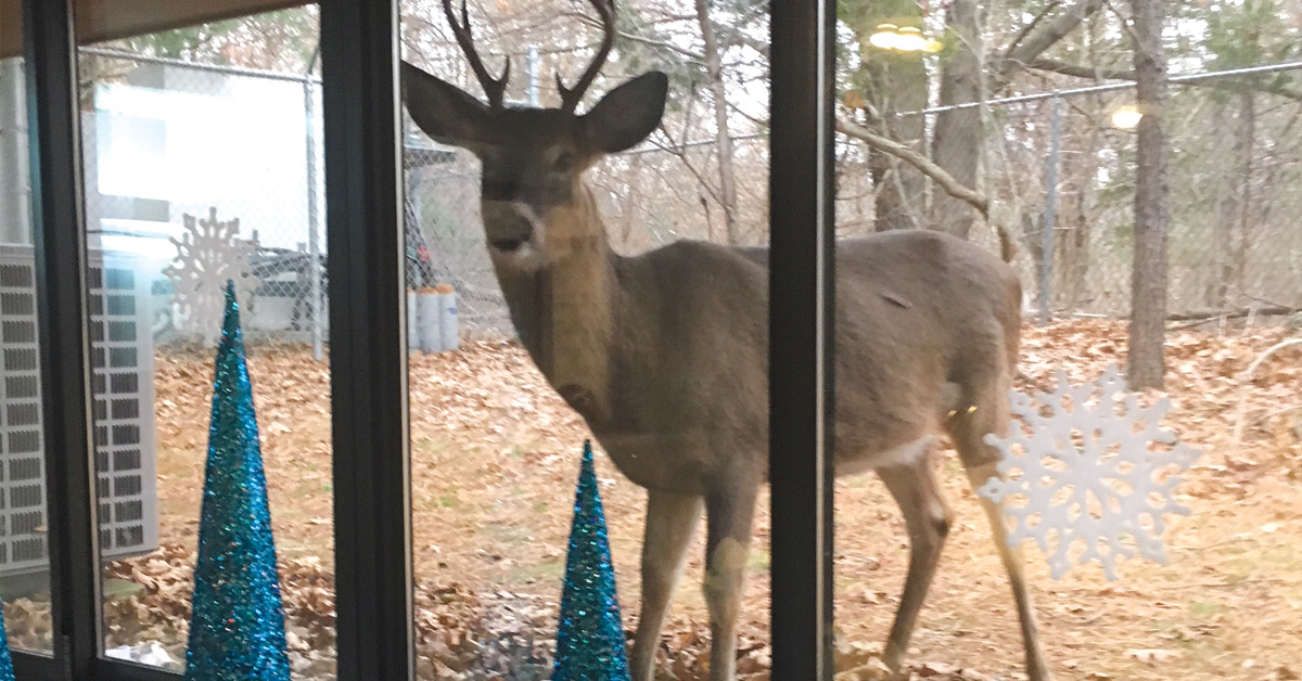 Buck Deer looking through office window